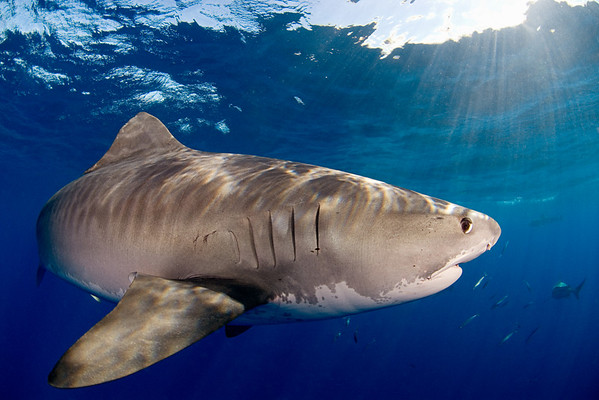 Tiger shark, Galeocerdo cuvier, open ocean, Hawaii, ( Central Pacific Ocean ) (dm)