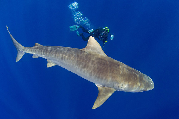 Doug Perrine photographs large tiger shark, Galeocerdo cuvier, open ocean, Hawaii, ( Central Pacific Ocean )