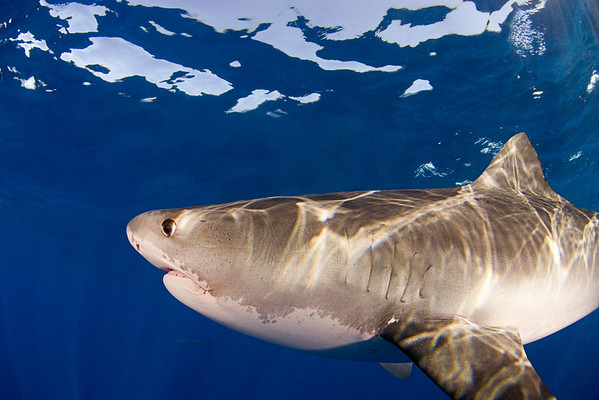 Tiger shark, Galeocerdo cuvier, open ocean, Hawaii, ( Central Pacific Ocean ) (dm)