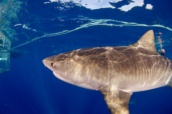 large tiger shark, Galeocerdo cuvier, approaches a shark cage, open ocean, Hawaii, ( Central Pacific Ocean )