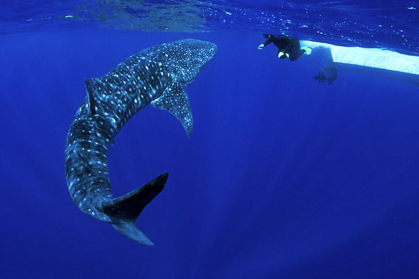 Pamela Higgins with a whale shark, Rhincodon typus, <br /> open ocean, Hawaii ( Central Pacific Ocean )<br /> 1