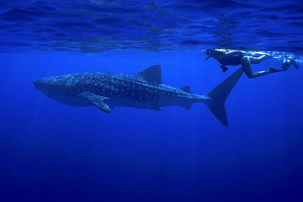 photographer with whale shark, Rhincodon typus, <br /> open ocean, Hawaii ( Central Pacific Ocean )