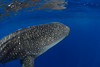 whale shark, Rhincodon typus, open ocean, Hawaii ( Central Pacific Ocean )