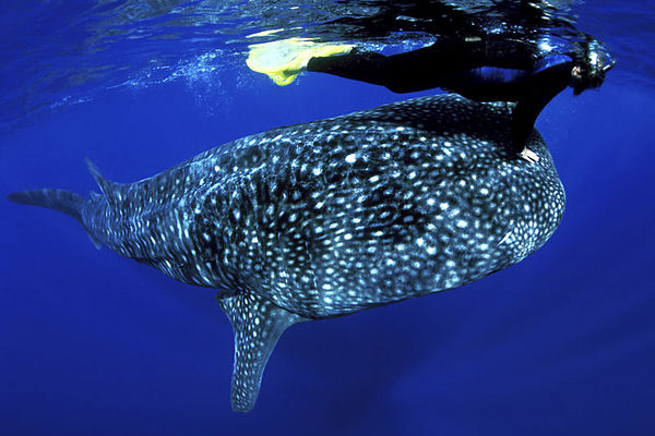 Pamela Higgins and whale shark, Rhincodon typus, <br /> open ocean, Hawaii ( Central Pacific Ocean )<br /> 1