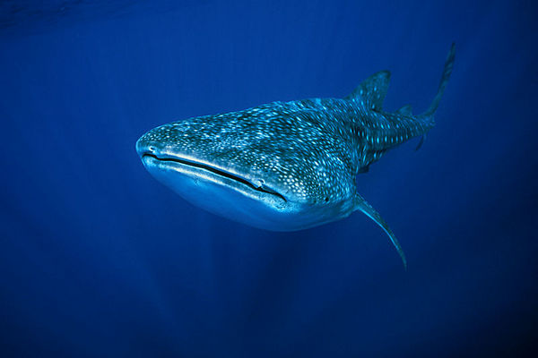 whale shark, Rhincodon typus, <br /> open ocean, Hawaii ( Central Pacific Ocean )<br /> 1