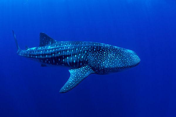 whale shark, Rhincodon typus, <br /> open ocean, Hawaii ( Central Pacific Ocean )<br /> 1