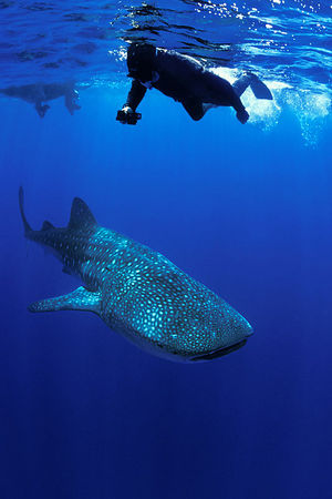 photographer Jerry Kane with <br /> whale shark, Rhincodon typus, <br /> open ocean, Hawaii ( Central Pacific Ocean )<br /> 1