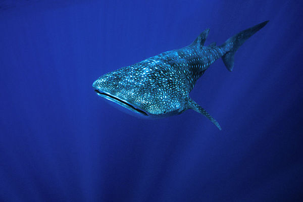 whale shark, Rhincodon typus, <br /> open ocean, Hawaii ( Central Pacific Ocean )