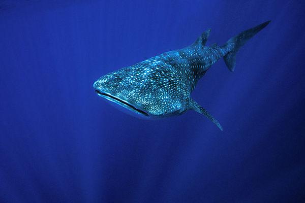 whale shark, Rhincodon typus, <br /> open ocean, Hawaii ( Central Pacific Ocean )
