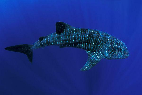 whale shark, Rhincodon typus, <br /> open ocean, Hawaii ( Central Pacific Ocean )<br /> 2