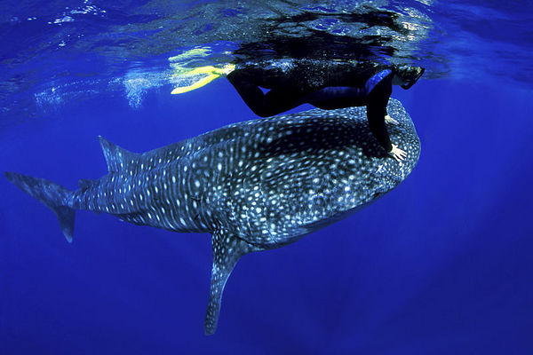 Pamela Higgins with whale shark, Rhincodon typus, <br /> open ocean, Hawaii ( Central Pacific Ocean )