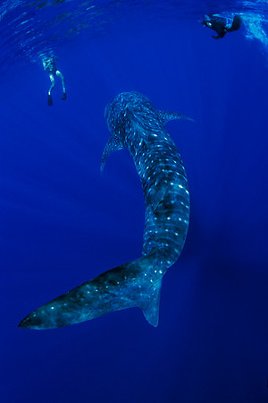 snorkelers encounter whale shark, Rhincodon typus, open ocean, Hawaii ( Central Pacific Ocean )