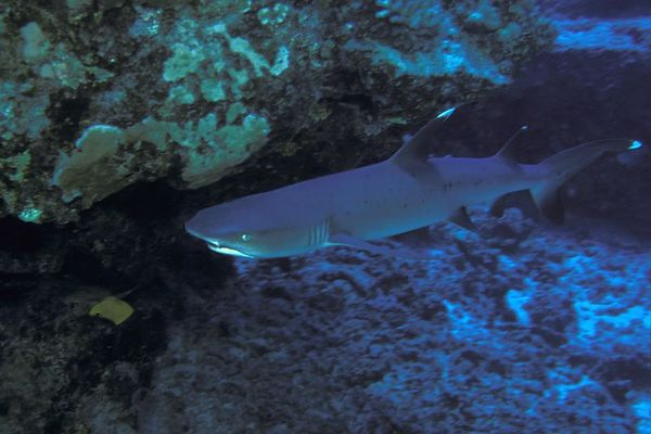 whitetip shark, Triaenodon obesus, <br /> Shark Ridge, Hawaii ( Central Pacific Ocean )<br /> 1