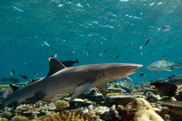 whitetip shark, Triaenodon obesus, <br /> Beqa Passage, Fiji ( South Pacific Ocean )