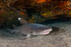 whitetip shark, Triaenodon obesus, inside a shallow cave, Hawaii ( Central Pacific Ocean )
