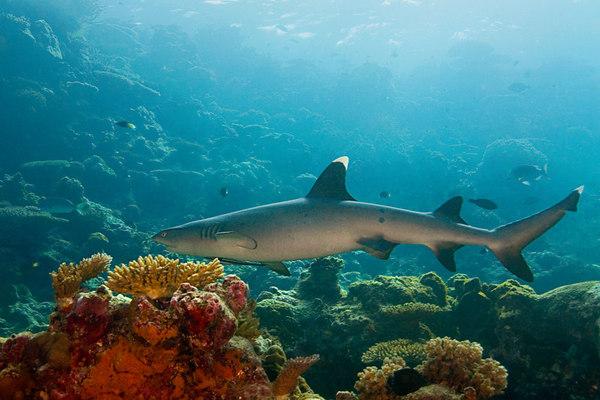 whitetip shark, Triaenodon obesus, <br /> Beqa Passage, Fiji ( South Pacific Ocean )
