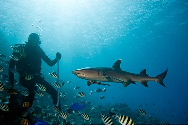 whitetip shark, Triaenodon obesus, swims past shark feeder at Shark Reef,<br /> Beqa Passage, Fiji ( South Pacific Ocean )