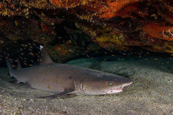 whitetip shark, Triaenodon obesus, inside a shallow cave surrounded by Taylor's gobies, Trimma taylori, Hawaii ( Central Pacific Ocean )