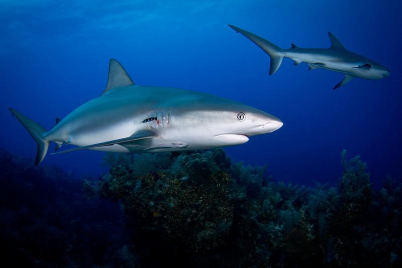 Caribbean Reef Sharks with Parasitic Leech