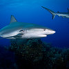 Caribbean Reef Sharks with Parasitic Leech