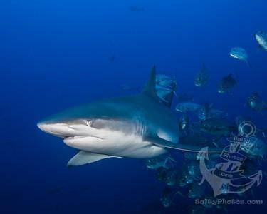 Galapagos Shark and Horse-eye Jacks
