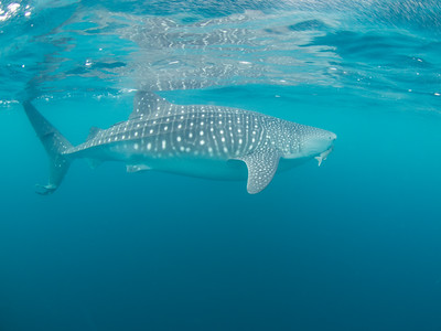 Whale shark at Bahia de Los Angeles.