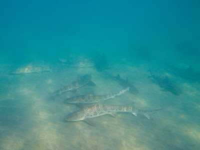 Leopard sharks at Marine Room.