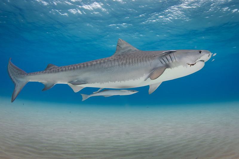 Tiger Shark with Hook