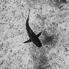 Caribbean Reef Shark on the Sand
