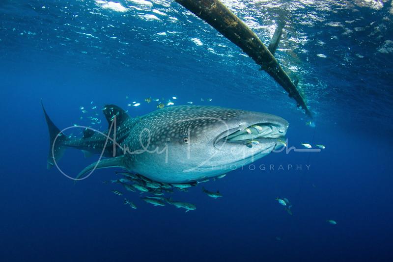 Whale Shark Under a Fishing Platform (Bagan)