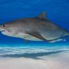 Tiger Shark solo