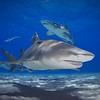 Lemon Sharks Schooling