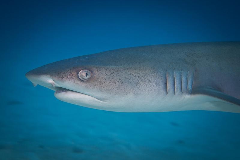 White Tip Shark Eye