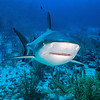 A Caribbean Reef Shark approaches on a reef in Grand Cayman.