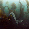 Tope shark swims past at La Jolla Cove.