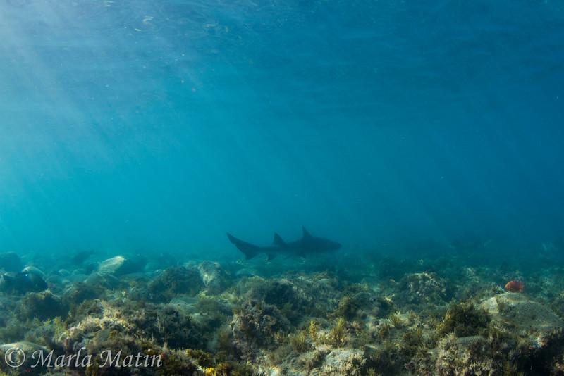 Leopard shark cruises Big Fisherman's Cove, Catalina Island