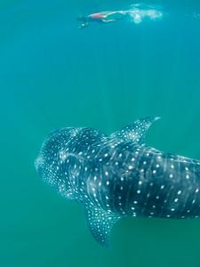 Snorkeling buddy Felipe with a whale shark at Bahia de Los Angeles.