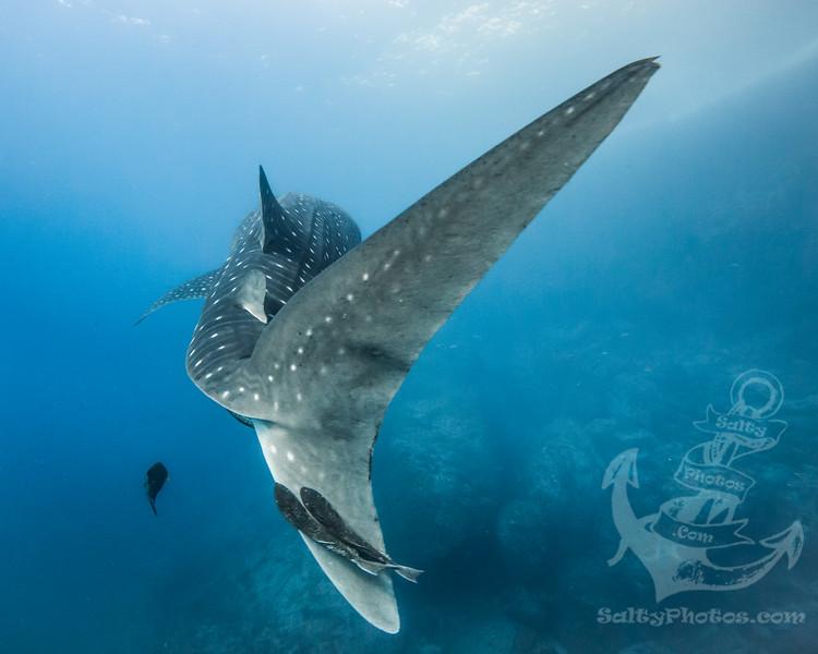 Whale Shark (Rhincodon Typus)