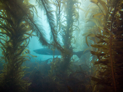 Sevengill shark in the kelp forest at La Jolla Cove.