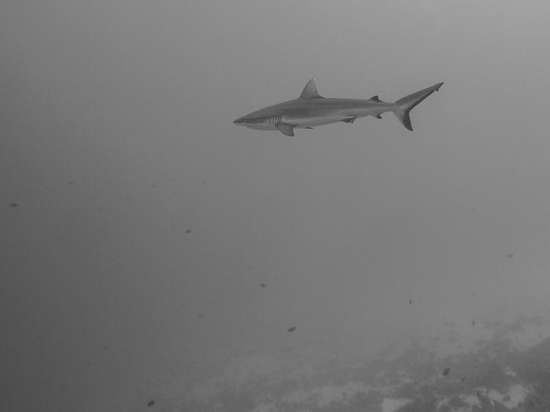 Grey reef shark at Reef End.