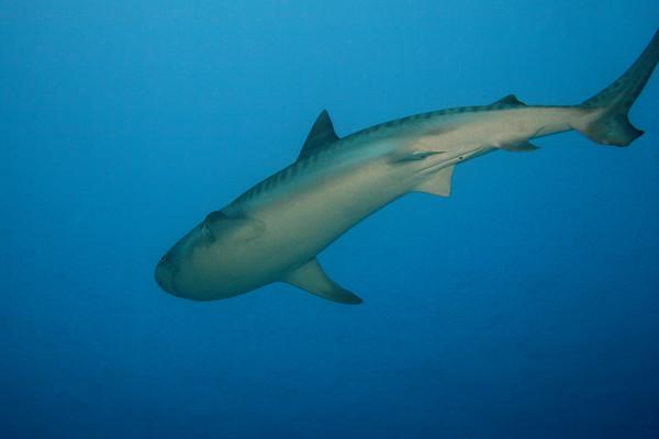 A dorsal view of a 12' male tiger shark, Galeocerdo cuvier, hiuhi in Hawaiian, Honokohau Harbor, Kona, Big Island, Pacific