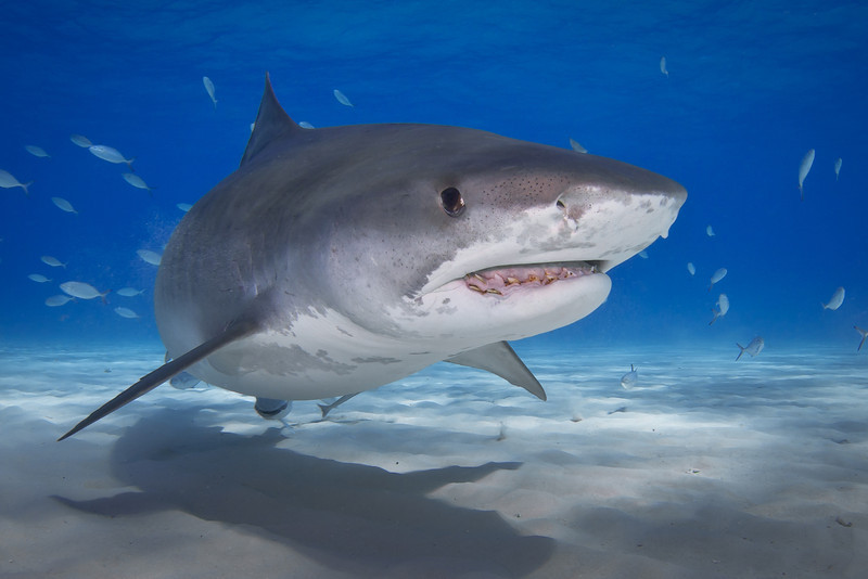 Tiger Shark with Broken Jaw
