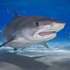 Tiger Shark with Broken Jaw