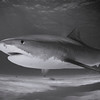 Tiger Shark in B&W