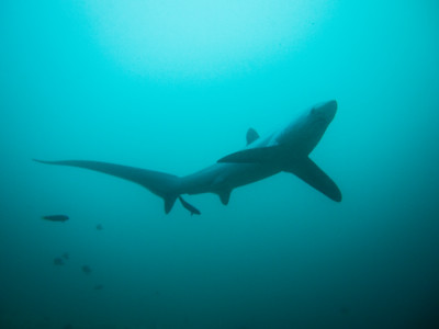 Thresher shark above a cleaning station at Monad Shoal.