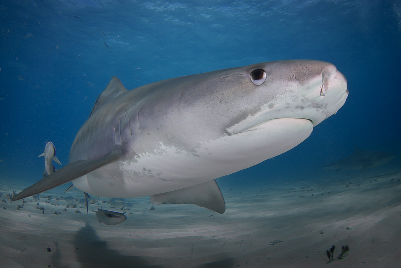 Tiger Shark with Nictitating Membrane