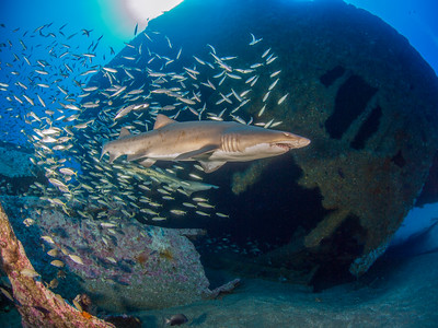 Bait fish schools follow sand tiger sharks on the Papoose.