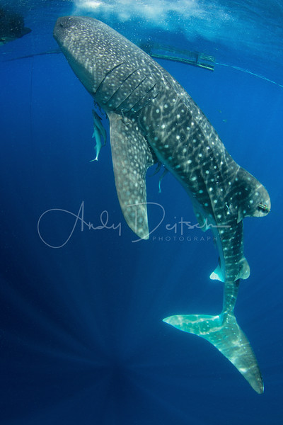 Whale Shark Feeding Vertically