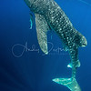 Whale Shark Feeding Vertically