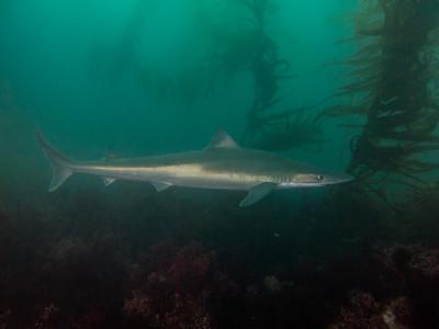 Tope shark at La Jolla Cove.
